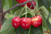Orondo Ruby cherries