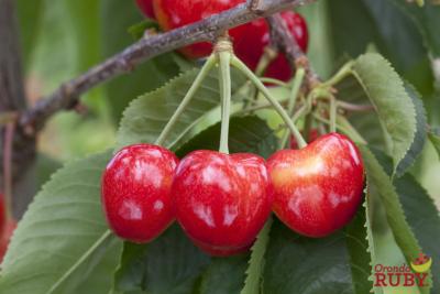 Orondo Ruby cherries